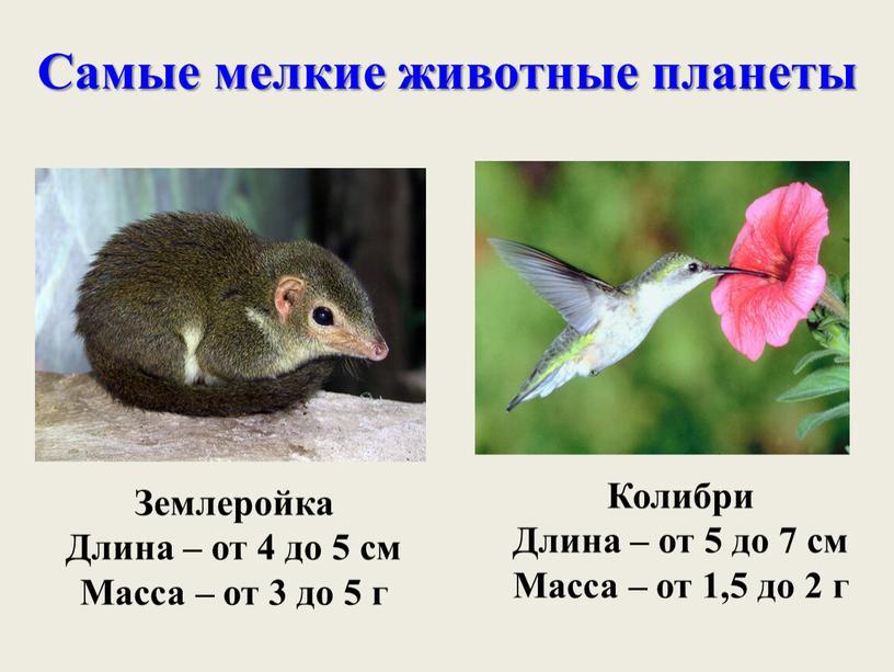 Самые мелкие животные планеты Землеройка