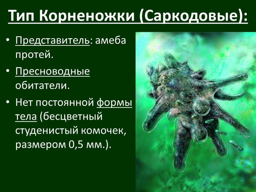 Тип Корненожки (Саркодовые): Представитель : амеба протей