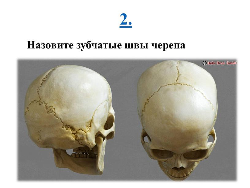 2. Назовите зубчатые швы черепа