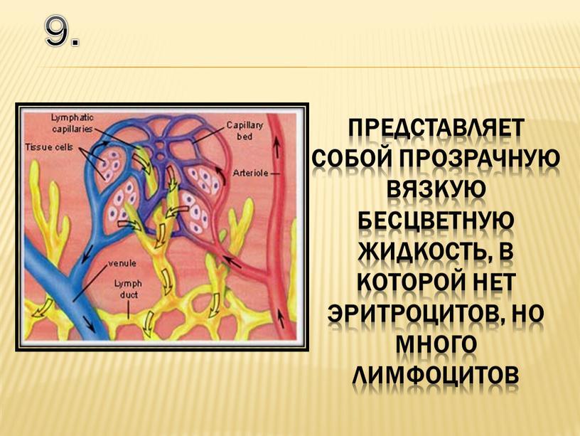 Представляет собой прозрачную вязкую бесцветную жидкость, в которой нет эритроцитов, но много лимфоцитов