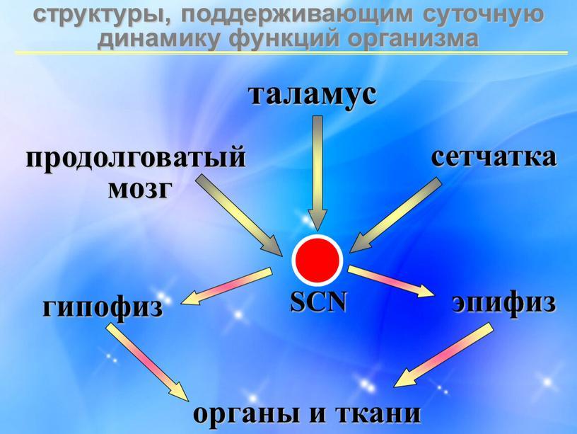 структуры, поддерживающим суточную динамику функций организма