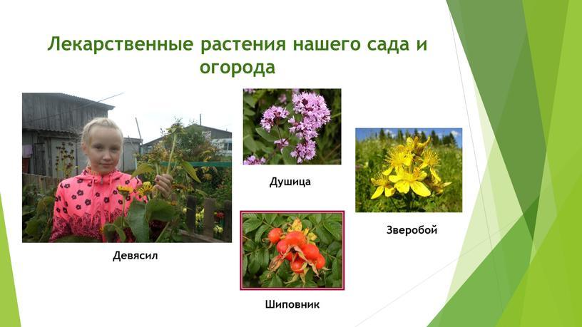 Лекарственные растения нашего сада и огорода