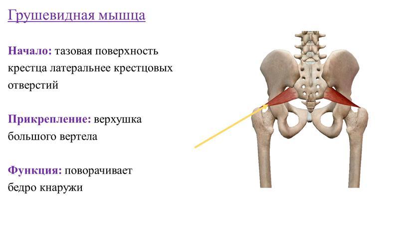 Грушевидная мышца Начало: тазовая поверхность крестца латеральнее крестцовых отверстий