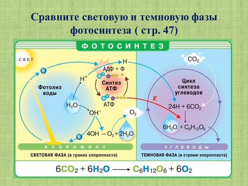Сравните световую и темновую фазы фотосинтеза ( стр