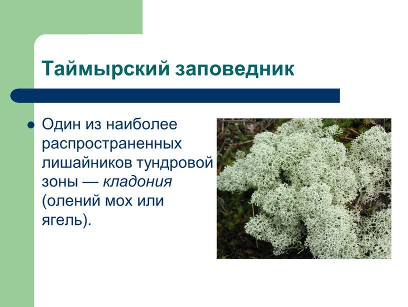 Таймырский заповедник Один из наиболее распространенных лишайников тундровой зоны — кладония (олений мох или ягель)
