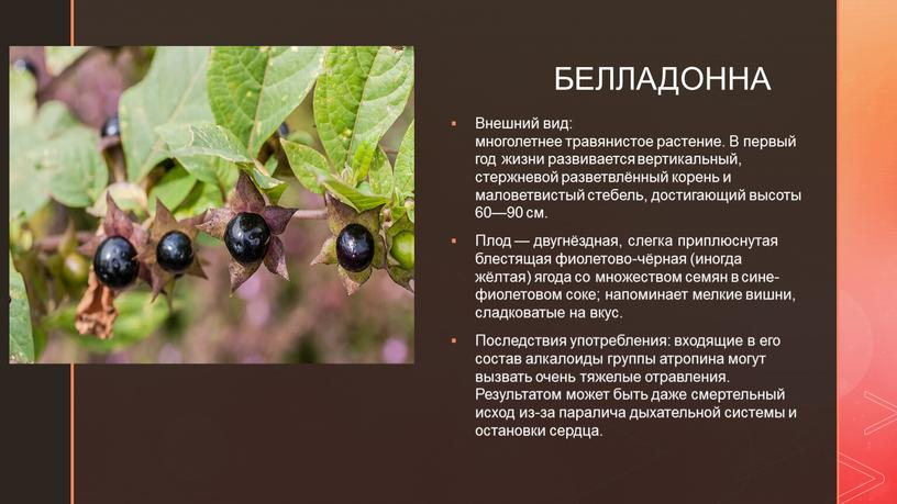 БЕЛЛАДОННА Внешний вид: многолетнее травянистое растение