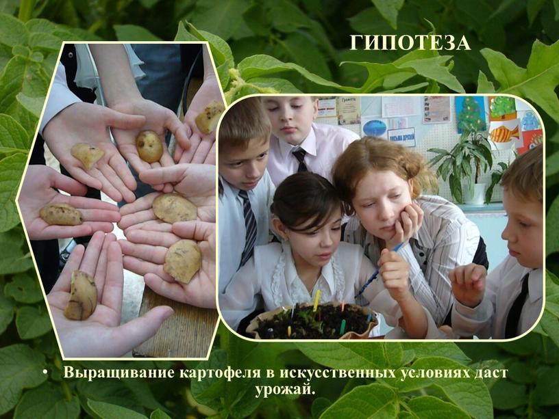 ГИПОТЕЗА Выращивание картофеля в искусственных условиях даст урожай