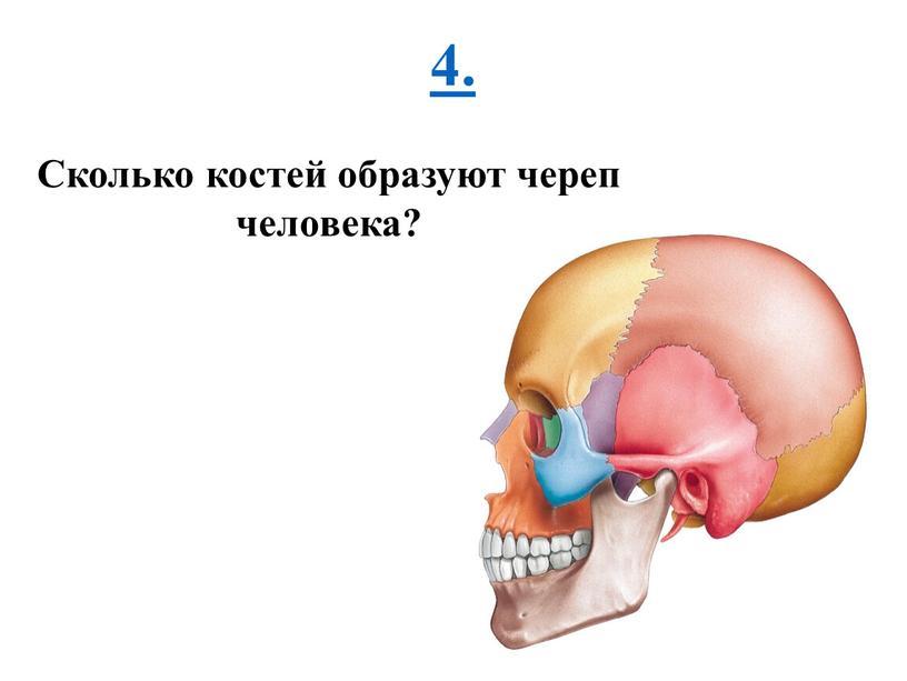 Сколько костей образуют череп человека?