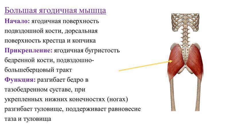 Большая ягодичная мышца Начало: ягодичная поверхность подвздошной кости, дорсальная поверхность крестца и копчика