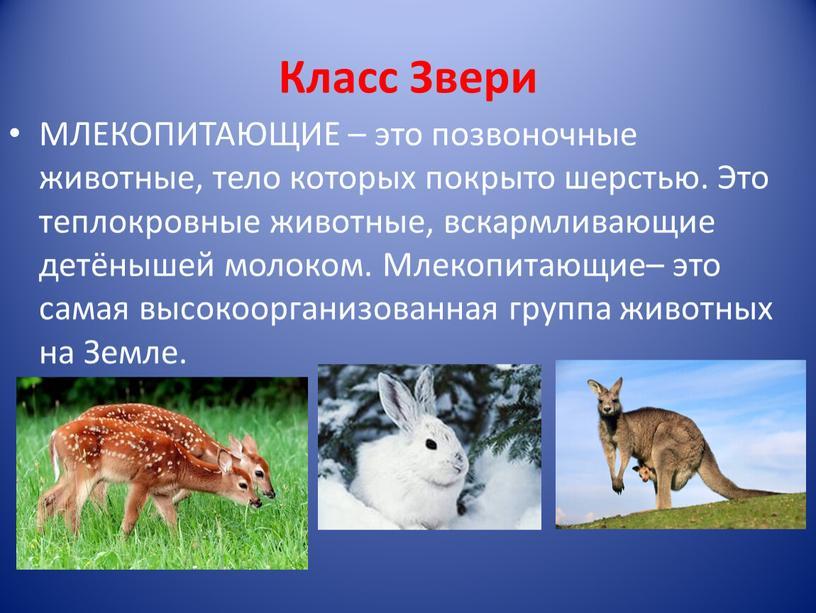 Класс Звери МЛЕКОПИТАЮЩИЕ – это позвоночные животные, тело которых покрыто шерстью