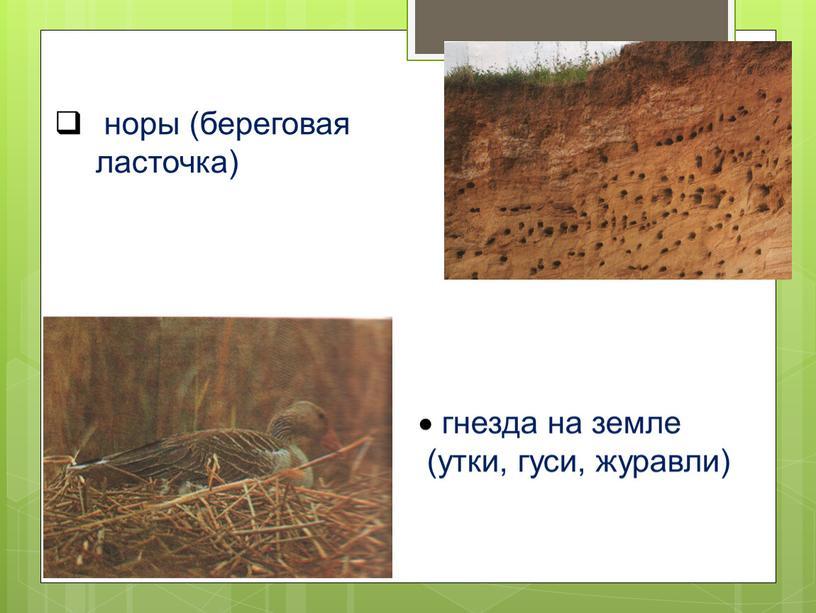 норы (береговая ласточка) гнезда на земле (утки, гуси, журавли)