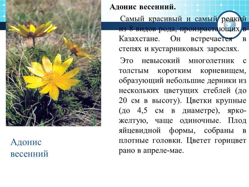 Адонис весенний. Самый красивый и самый редкий из 8 видов рода, произрастающих в