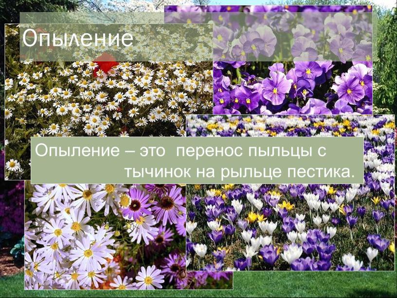 Опыление – это перенос пыльцы с тычинок на рыльце пестика