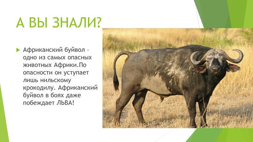 А ВЫ ЗНАЛИ? Африканский буйвол – одно из самых опасных животных