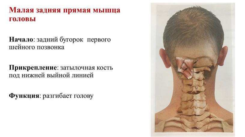 Малая задняя прямая мышца головы