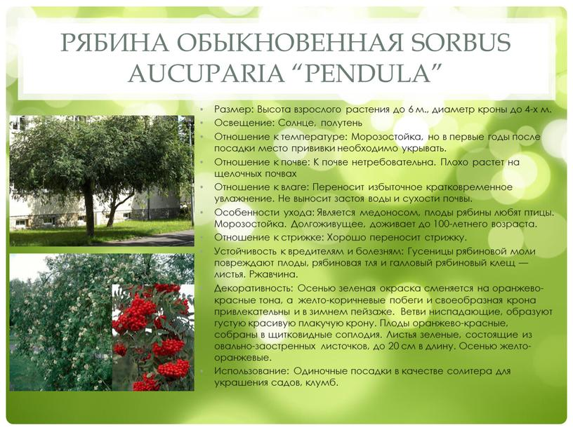 "Рябина обыкновенная Sorbus aucuparia ""Pendula"""