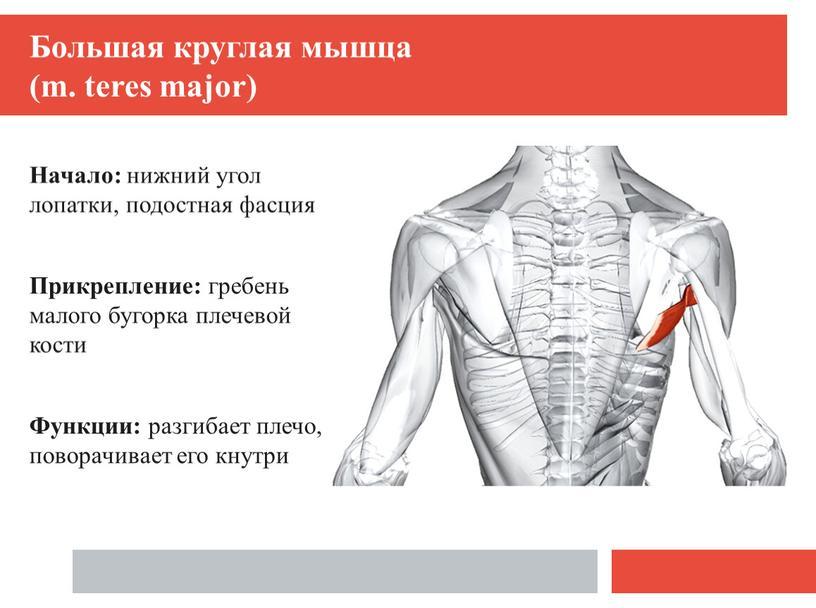 Большая круглая мышца (m. teres major)