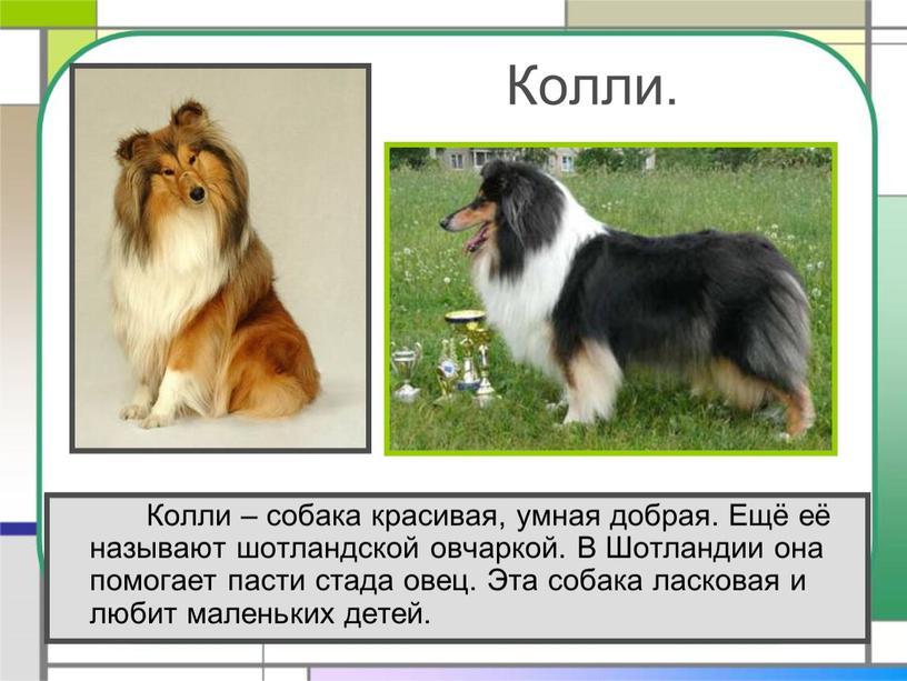 Колли. Колли – собака красивая, умная добрая