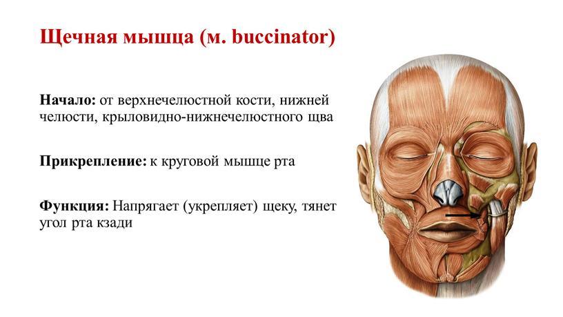 Щечная мышца (м. buccinator) Начало: от верхнечелюстной кости, нижней челюсти, крыловидно-нижнечелюстного щва