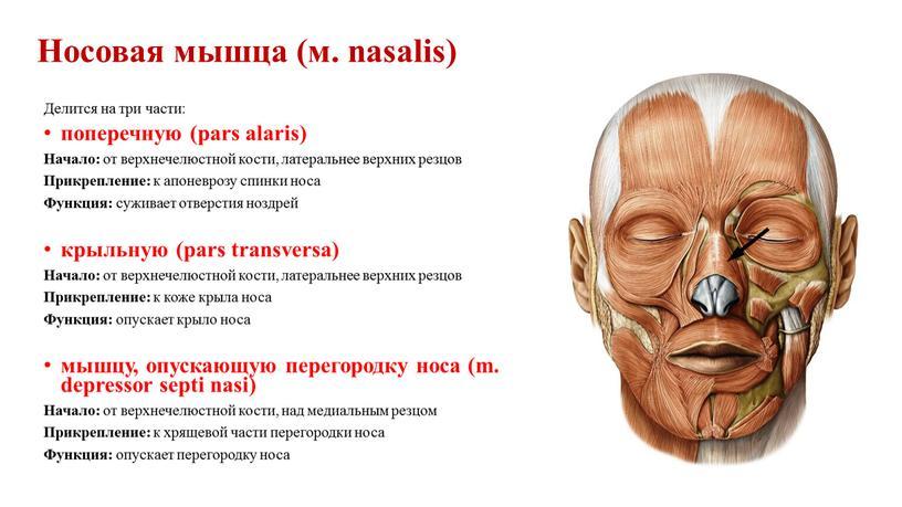 Носовая мышца (м. nasalis) Делится на три части: поперечную (pars alaris)