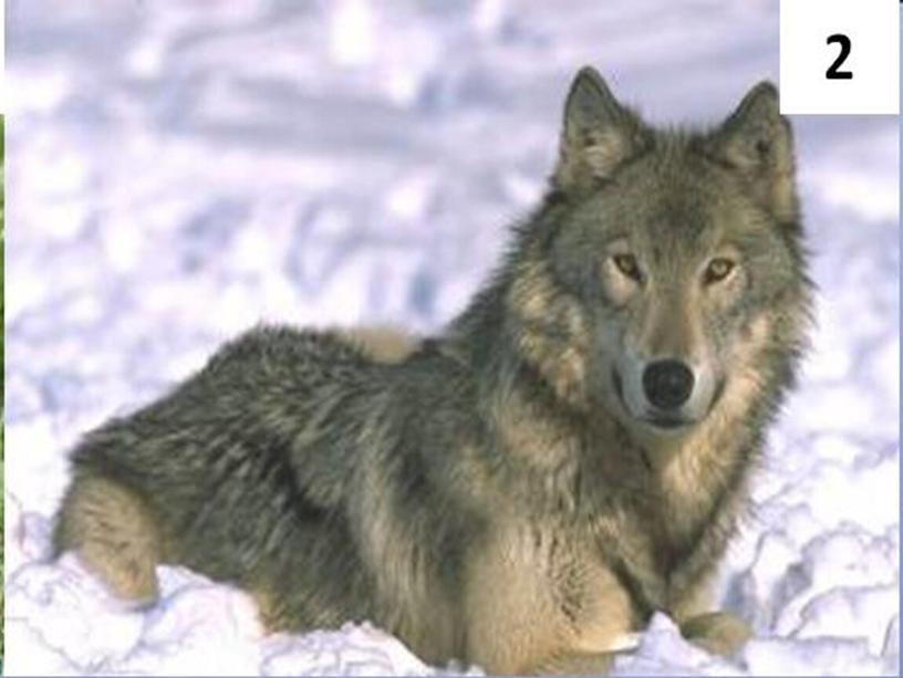 Кого считают предком собак ?