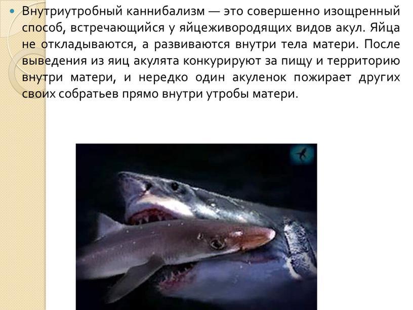 Внутриутробный каннибализм — это совершенно изощренный способ, встречающийся у яйцеживородящих видов акул