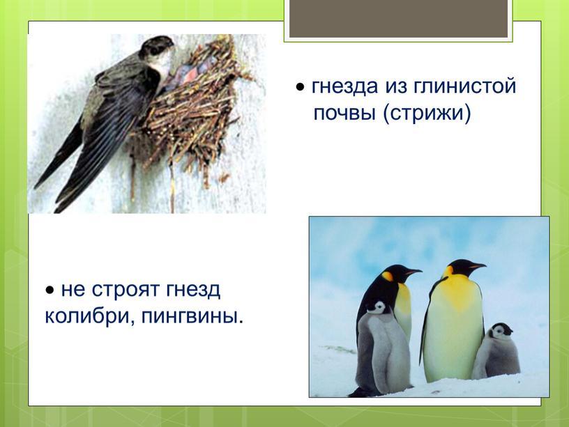 гнезда из глинистой почвы (стрижи) не строят гнезд колибри, пингвины.