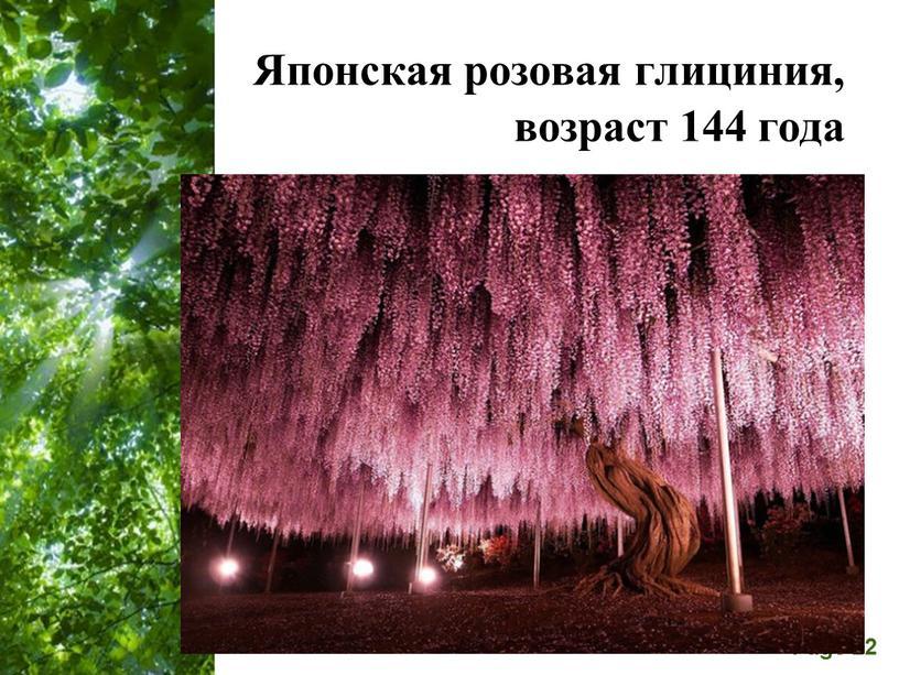 Японская розовая глициния, возраст 144 года