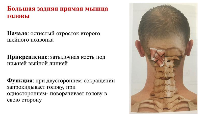 Большая задняя прямая мышца головы