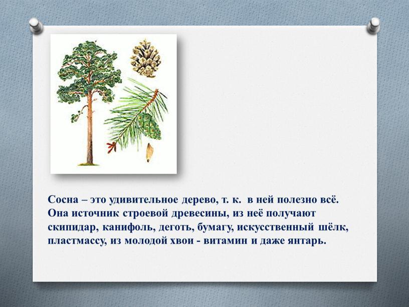 Сосна – это удивительное дерево, т