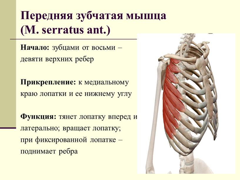 Передняя зубчатая мышца (М. serratus ant