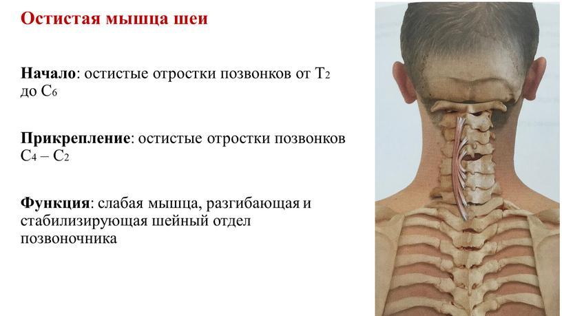Остистая мышца шеи Начало : остистые отростки позвонков от
