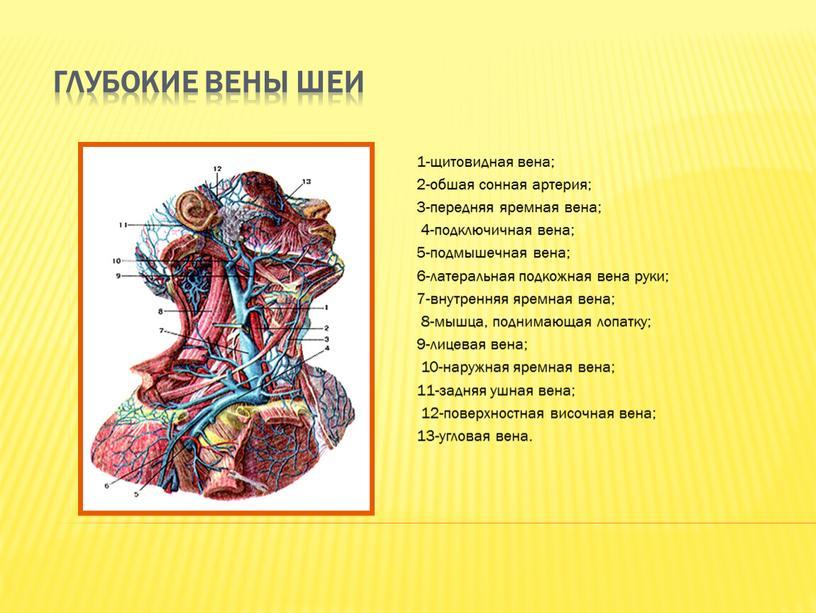 Глубокие вены шеи 1-щитовидная вена; 2-обшая сонная артерия; 3-передняя яремная вена; 4-подключичная вена; 5-подмышечная вена; 6-латеральная подкожная вена руки; 7-внутренняя яремная вена; 8-мышца, поднимающая лопатку;…