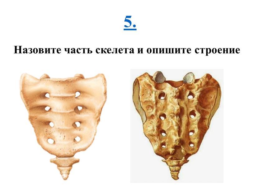 Назовите часть скелета и опишите строение