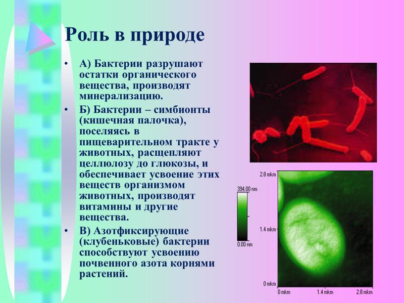 Роль в природе А) Бактерии разрушают остатки органического вещества, производят минерализацию