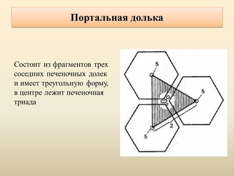 Портальная долька Состоит из фрагментов трех соседних печеночных долек и имеет треугольную форму, в центре лежит печеночная триада
