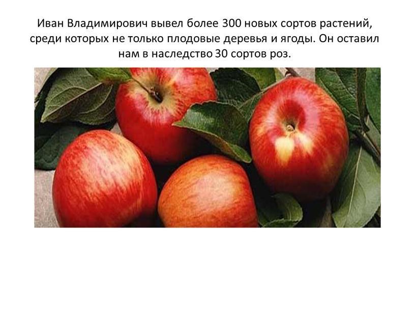 Иван Владимирович вывел более 300 новых сортов растений, среди которых не только плодовые деревья и ягоды