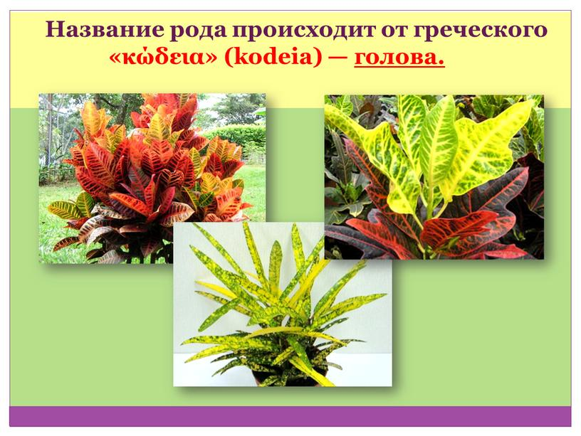 Название рода происходит от греческого «κώδεια» (kodeia) — голова