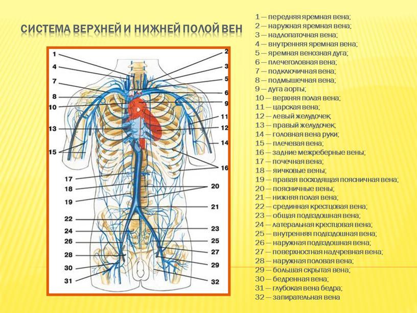 Система верхней и нижней полой вен 1 — передняя яремная вена; 2 — наружная яремная вена; 3 — надлопаточная вена; 4 — внутренняя яремная вена;…