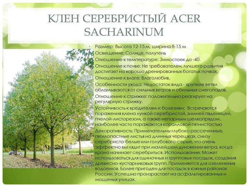 Клен серебристый Acer sacharinum