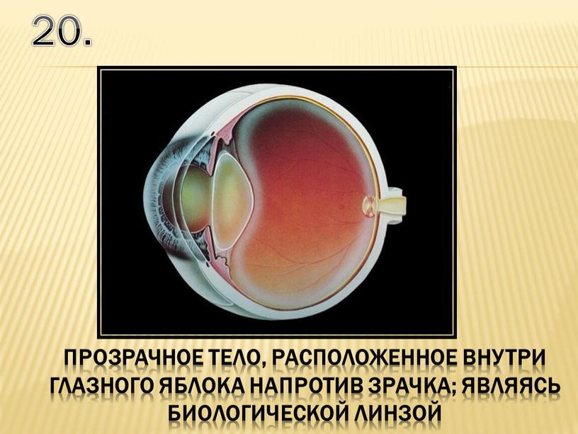 20. прозрачное тело, расположенное внутри глазного яблока напротив зрачка; являясь биологической линзой