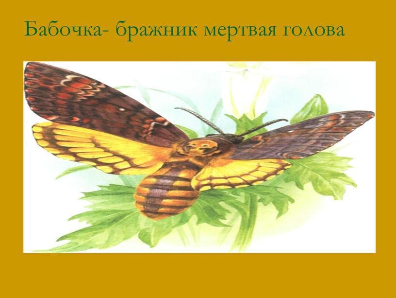Бабочка- бражник мертвая голова