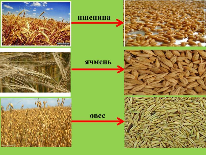 пшеница ячмень овес