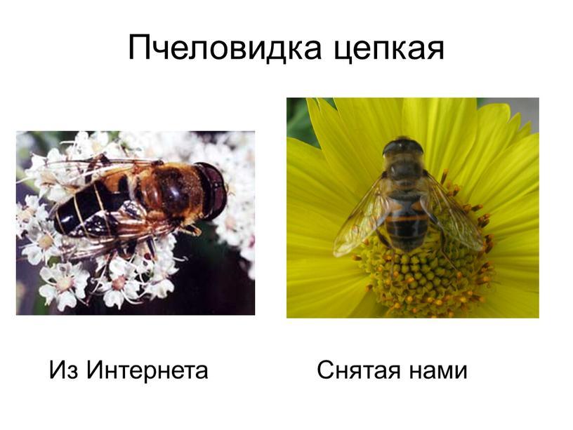 Пчеловидка цепкая Из Интернета