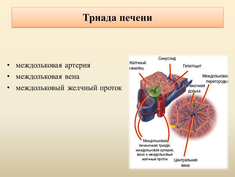 Триада печени междольковая артерия междольковая вена междольковый желчный проток