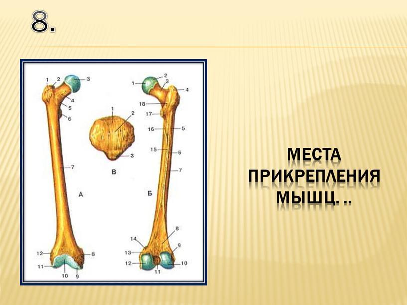 8. места прикрепления мышц. ..