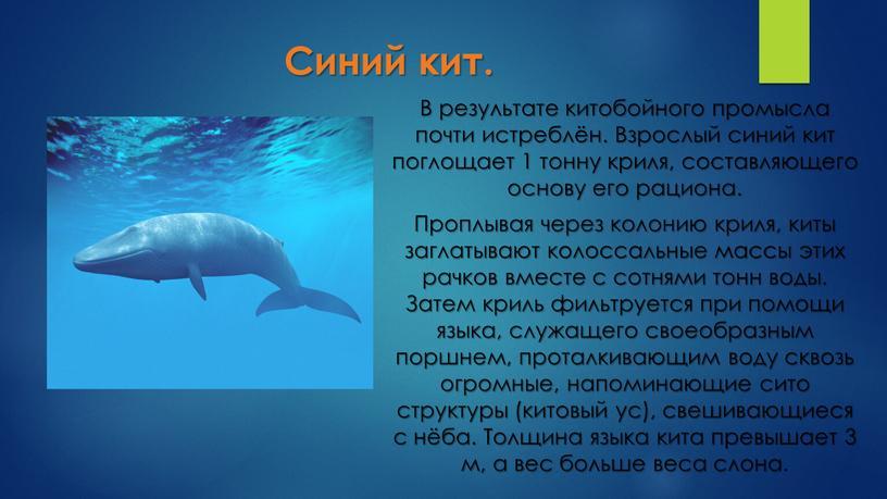 Синий кит. В результате китобойного промысла почти истреблён