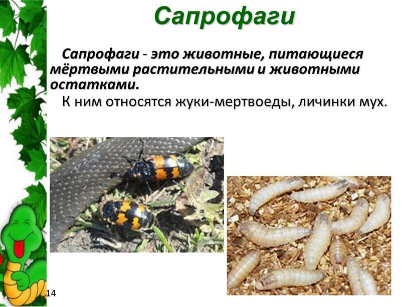 Сапрофаги Сапрофаги - это животные, питающиеся мёртвыми растительными и животными остатками