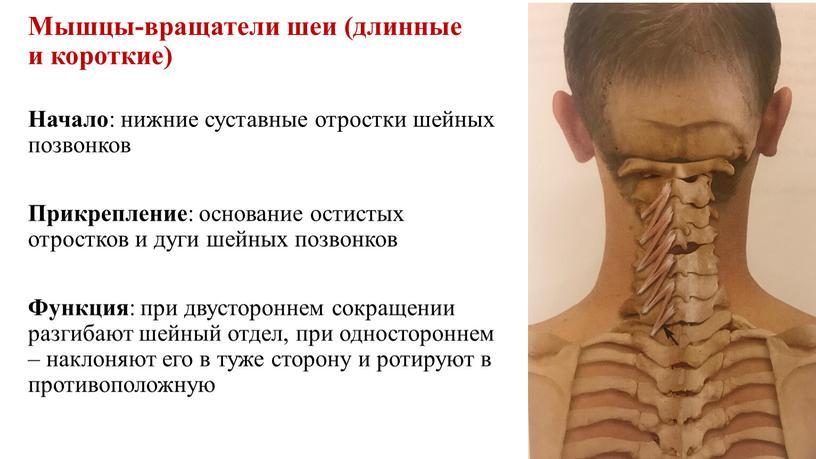 Мышцы-вращатели шеи (длинные и короткие)