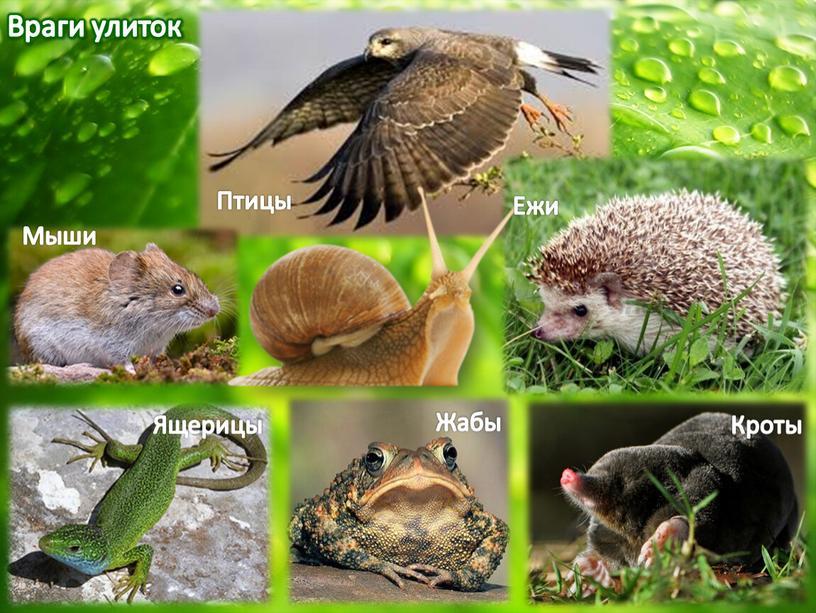 Враги улиток Птицы Мыши Ежи Кроты